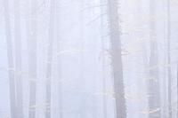 forest in fog, Switzerland.