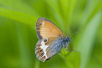 Pearly Heath, Coenonympha arcania caught by crab spider. Butterfly flight is June-August. Habitat: light forests, nutient poor grasslands, damp cleari...