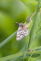 Latticed Heath, Chiasmia clathrata, diurnal moth with brown lattice markings. Flies May-September with 2 genrations. Foodplants: Galium sp, Trifolium,...