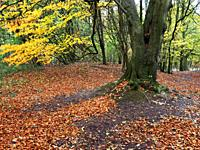 A carpet of fallen leaves in autumn woodland at Hornbeam Park Harrogate North Yorkshire England.