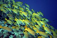 School of Bluestripe Snapper (Lutjanus kasmira), Indian Ocean, Maldives, South Asia.