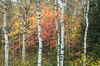 Autumn maple foliage and aspen tree trunks, Greater Sudbury, Ontario, Canada.