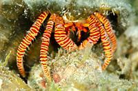 Halloween Hermit Crab (Ciliopagurus strigatus) in shell, Roda Reef dive site, Dili, East Timor (Timor Leste).