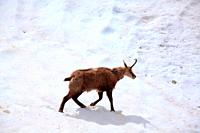 Chamois (Rupicapra rupicapra) walking through the snow in the National Park Gran paradiso. Italy.