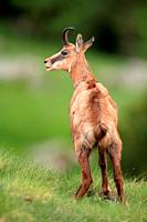 Chamois (Rupicapra rupicapra) in the National Park Gran Paradiso. Italy.