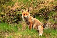 Fox (Vulpes vulpes) in the National Park Gran Paradiso. Italy.