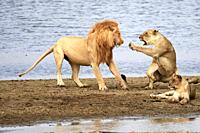 Aggressive lioness refusing to mate with lion (Panthera leo), banks of the Luangwa river, South Luangwa National Park, Zambia.