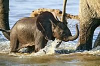 African elephant, tiny calf crossing Luangwa river protected by herd, (Loxodonta africana), South Luangwa National Park, Zambia.