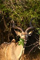 Male Greater kudu eating leaves (Tragelaphus strepsiceros), South Luangwa National Park, Zambia.