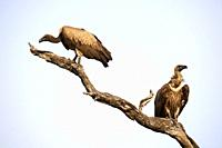 White backed Vulture perched on branch (Gyps africanus), South Luangwa National Park, Zambia.
