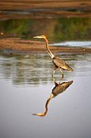 Goliath Heron looking for food in Luangwa river (Ardea goliath) South Luangwa National Park, Zambia.