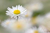 Daisy (Bellis perennis. Bavaria, Germany.