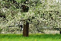 Apple tree in blossom close up, springtime. Baden-Württemberg, Lake Constance Region, Germany.