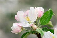 Blossom of a apple tree. Lake Constance region, Baden-Württemberg (Baden-Wuerttemberg), Germany, Europe.