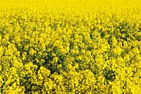 Close up of rape field in blossom. Bavaria, Germany.