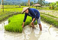 Local man in a seedbed transplanting rice seedlings, Living Land Farm project, Luang Prabang, Laos.