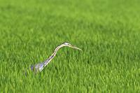 Purple Heron (Ardea purpurea). Hunting in a rice field (Oryza sativa). Environs of the Ebro Delta Nature Reserve, Tarragona province, Catalonia, Spain...