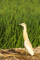 Squacco Heron (Ardeola ralloides). At a low bank of earth between rice fields (Oryza sativa). Environs of the Ebro Delta Nature Reserve, Tarragona pro...