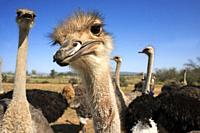 Safari ostrich show farm Oudtshoorn, Little Karoo, South Africa, Africa.