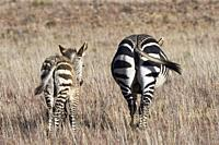 Cape mountain zebras (Equus zebra zebra), adult with zebra foal walking in open grassland, Mountain Zebra National Park, Eastern Cape, South Africa, A...