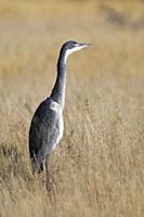 Black-headed heron (Ardea melanocephala), adult, in the high dry grass, looking for prey, Mountain Zebra National Park, Eastern Cape, South Africa, Af...