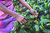 Women tea plantation workers collect the top tiers of the leaves and most delicate shoots to make white and green Ceylon tea.