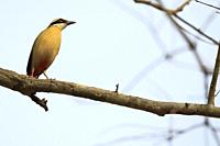 Indian Pitta (Pitta brachyura) perched on branch. Corbett National Park. Uttarakhand. India.