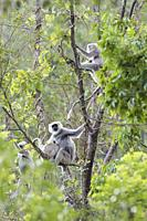 Nepal Gray Langur (Semnopithecus schistaceus) group. Pangot. Nainital district. Uttarakhand. India.