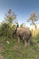 Laos, Sainyabuli, Elephant Conservation Center, Asian elephant, elephas maximus, and mahourt, MR-LAO-ECC-18-004.