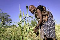 Himba woman harvesting millet with her child on her back.