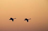 Whooper Swan (Cygnus cygnus) flying in to land at sunset in golden light. Lubana Wetland Complex. Latvia.