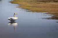 Whooper Swan (Cygnus cygnus) adult on water. Lubana Wetland Complex. Latvia.