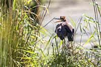 Germany, Baden-Württemberg, Waghäusel - A purple heron hides themselve in the hidden.