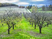 plum orchard in winter near Serignac-Peboudou,Lot-et-Garonne Department, Nouvelle Aquitaine, France.