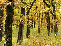 Pendunculate Oak, Quercus robur, grove in autumn west of Tournon dâ. . Agenais, Lot-et-Garonne Department, Nouvelle Aquitaine, France.