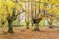 Presazelai beech tree grove, Otxandio, Vizcaya, Spain.
