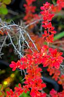 Branch with red leaves and thorns in autumn.