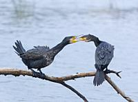 Great Cormorant (Phalacrocorax carbo, The Danubio Delta, Periprava, Romania