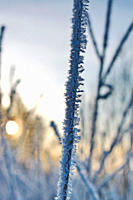 Delicate frost crystals growing on grass stalks are illuminated by the golden light of the low winter sun on a cold day in northern Sweden.
