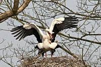 White Stork (Ciconia ciconia) mating, France.