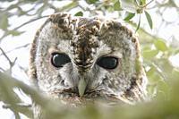 Strix aluco, Tawny Owl, Carabo, Strigiformes, head, Miranda de Azan, Salamanca, Spain.