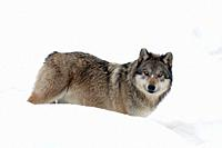 Grey wolf in the snow ( Canis lupus).