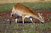 Red Lechwe (Kobus leche leche) - Female, feeding in a freshwater marsh. Okavango Delta, Moremi Game Reserve, Botswana.