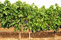 Vineyard (Vitis vinifera) in Ribera del Duero, Valladolid province, Castilla-Leon, Spain.