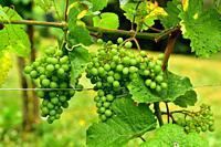 Common grape vine (Vitis vinifera) is a deciduous climber shrub native to Mediterranean Basin, central Europe and southwestern Asia. Grape gewurztrami...