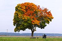 tree in autumn, fall colours.