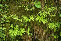 Ferns; Elliott State Forest, Coast Range Mountains, Oregon. FR 7500.