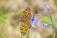 Mellicta athalia biedermanni, butterfly; Nymphalidae; Lepidoptera; Montemayor del Rio; Sierra de Bejar; Salamanca; Castilla y Leon; Spainc.