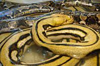 Pythonidae sepents, Reptile Exposition, Salamanca, Castlilla y Leon, Serpetes, Squamata, Spain.