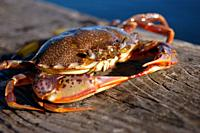 A crab suns himself on a pier.